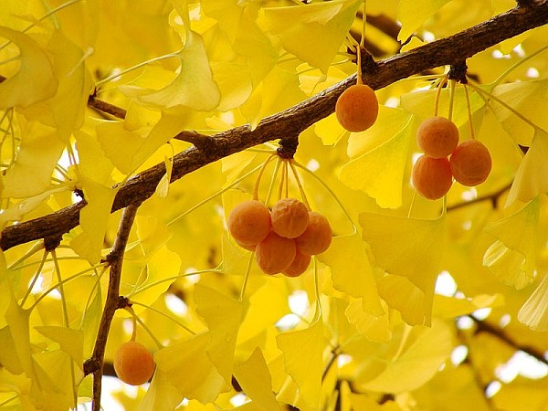 trees_ginkgo_leaves_fruit_rsz_wiki