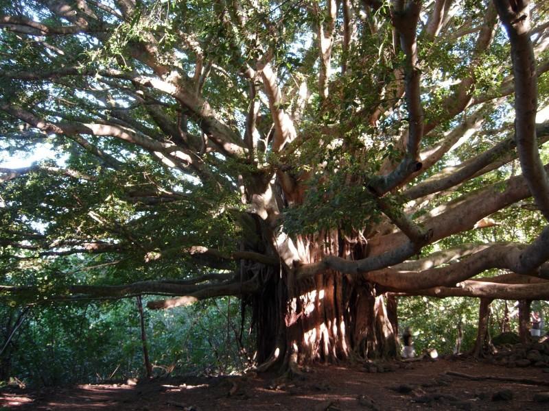 banyan-tree-on-pipiwai-trail