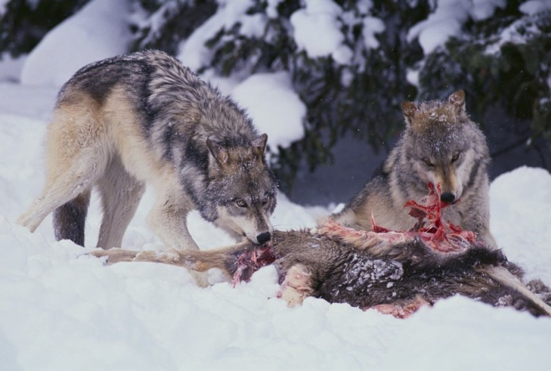 1171936-img-vlci-vlci-smecka-vlk