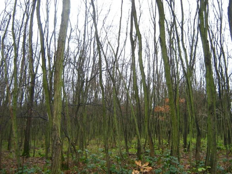 Robinia-pseudoacacia-Stangenholz-09-XI-2007-45