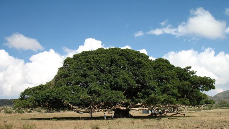 Ficus_sycomorus_near_Segeneyti_Eritrea